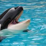 La imitación en las Orcas