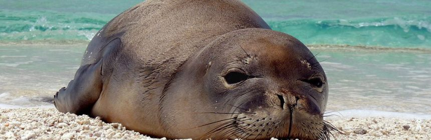 Hawaiian_monk_seal_at_French_Frigate_Shoals_07