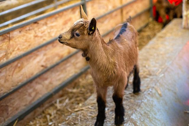 Les chèvres de nos producteurs