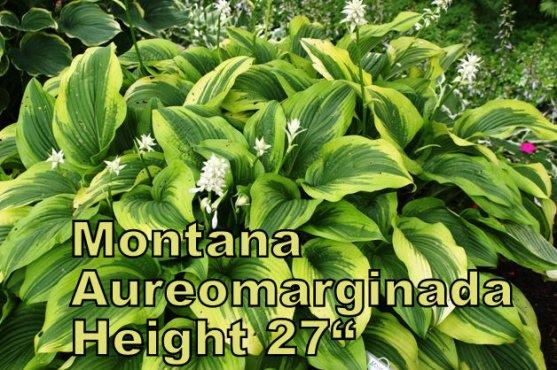 Montana Aureomarginada hosta