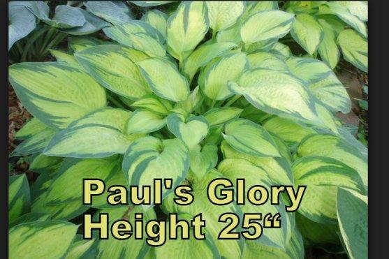 Pauls Glory hosta