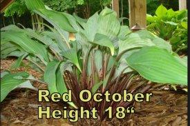 Red October hosta
