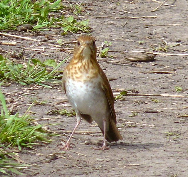 Hermit Thrush at Montrose Bird Sanctuary