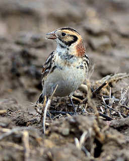 Lapland Longspur. Image courtesy of Dave Inman from Flickr