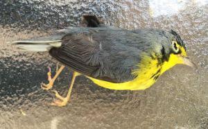 canada warbler bird collision