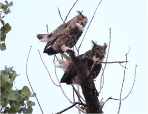 Great Horned Owls Up Close & Personal @ Heller Nature Center   Highland Park   Illinois   United States