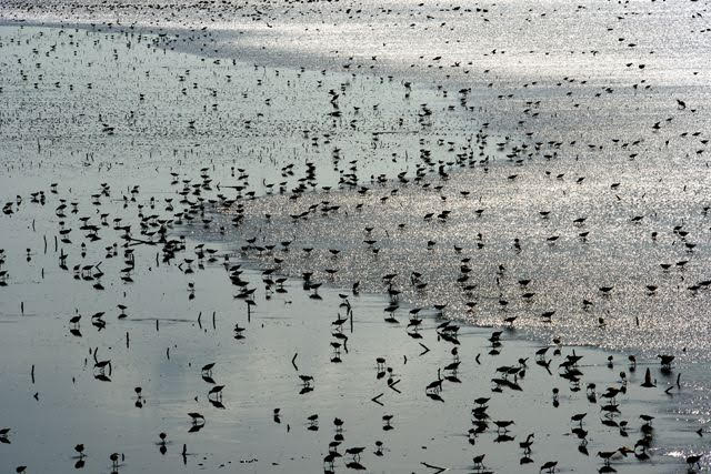 Kansas Shorebirds