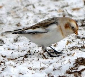 Flash Event! - Winter Specialty Birding (NO DATE SET) @ TBD