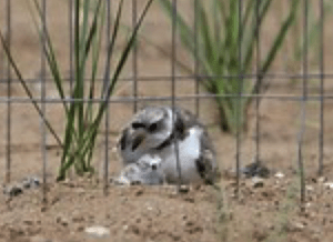Piping Plover Watch: The Drama at Montrose @ Heller Nature Center | Highland Park | Illinois | United States
