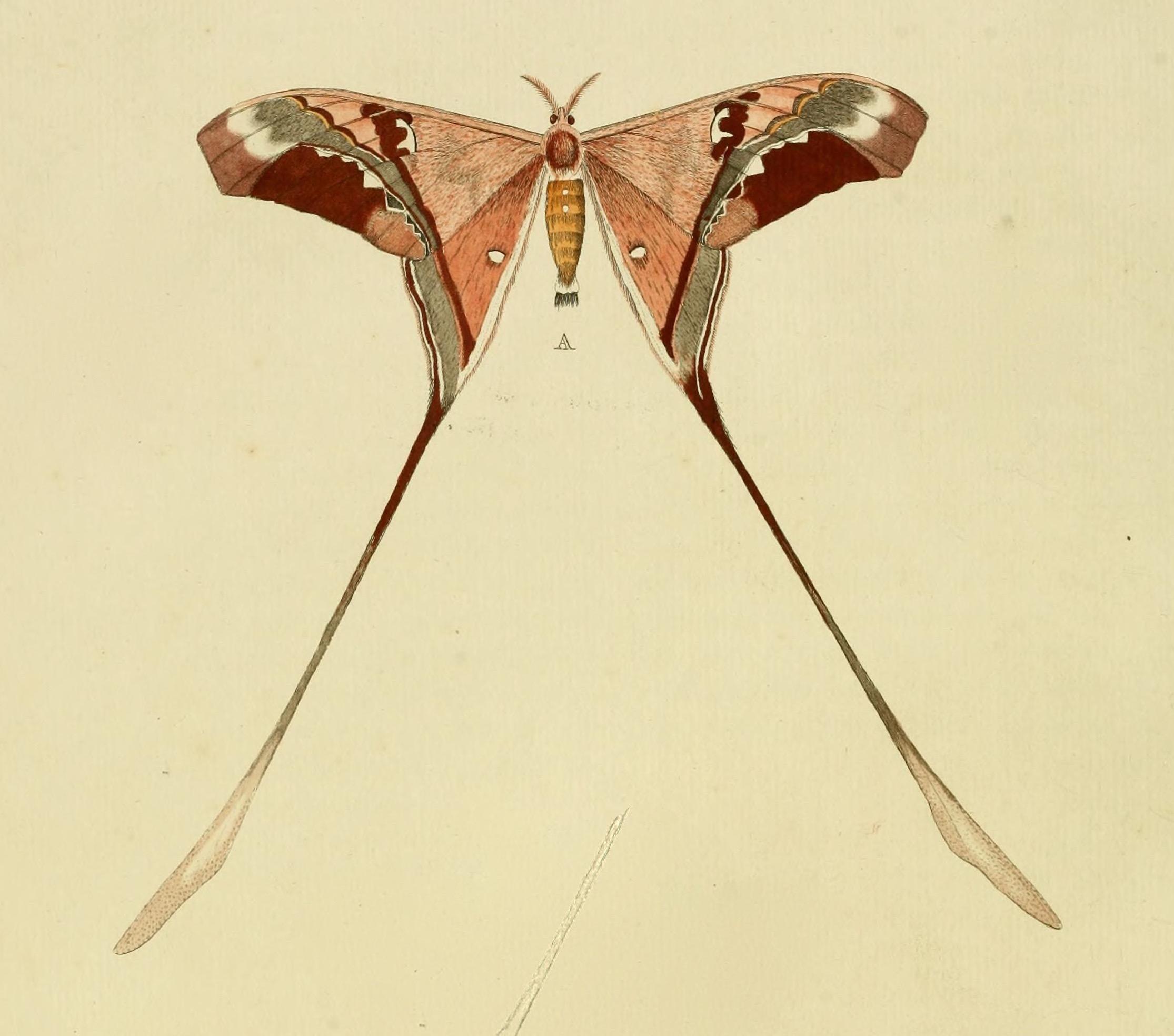 Stettner's Silk Moth Copiopteryx semiramis