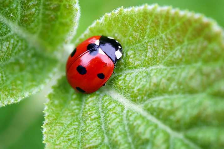 This image has an empty alt attribute; its file name is ladybug-pic.jpg