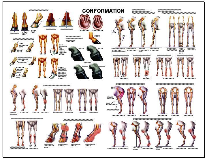 Image result for horse conformation