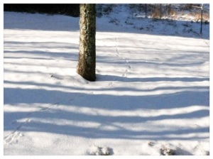 Animal tracks in the snow by Lake Glenville NC