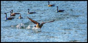 Canada Geese taking off from Lake Glenville NC