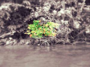 Flame Azalea on the shore of Lake Glenville