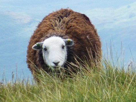 Year old Herdwick