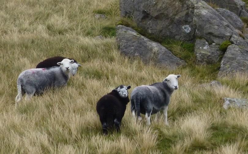 Herdie ewes and lambs