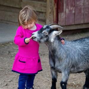 Girl feeds goat at Lake Tobias Wildlife Park petting zoo