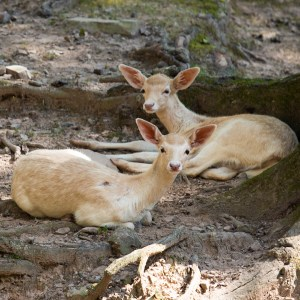 Fallow deer at Lake Tobias Wildlife Park