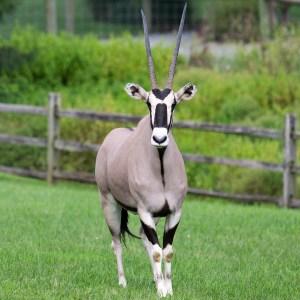 Gemsbok at Lake Tobias Wildlife Park