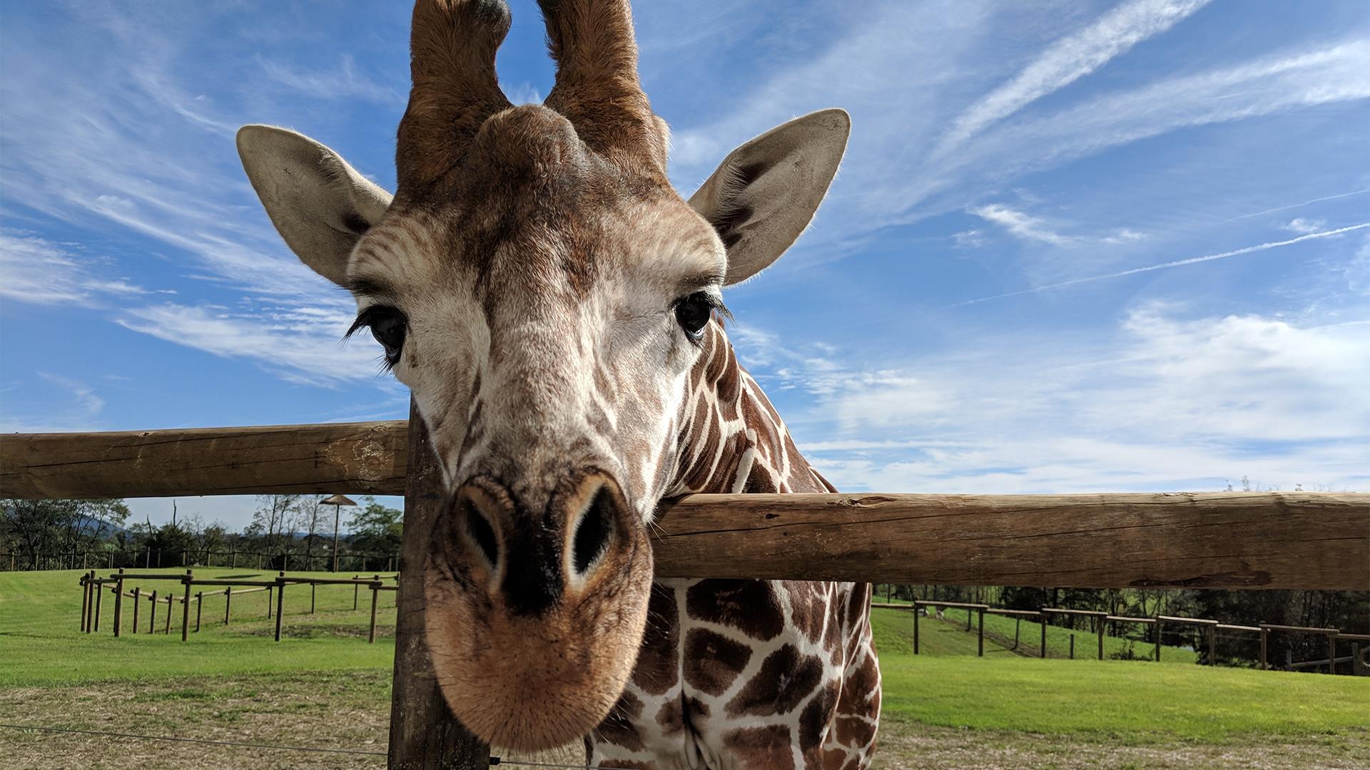Giraffe at Lake Tobias Wildlife Park