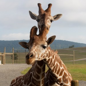 Reticulated giraffes at Lake Tobias Wildlife Park
