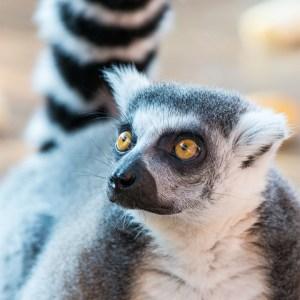 Lemur at Lake Tobias Wildlife Park