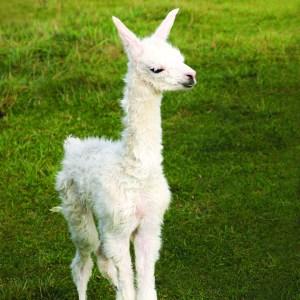 Baby llama at Lake Tobias Wildlife Park