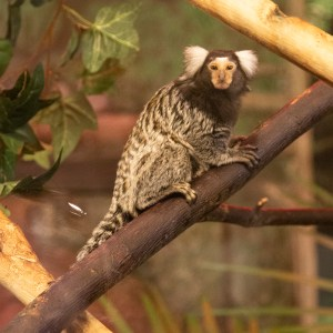 Marmoset at Lake Tobias Wildlife Park