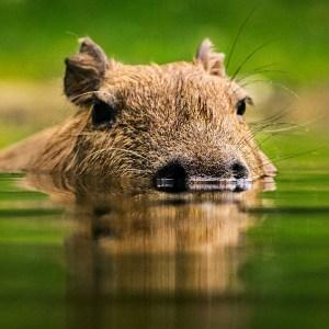 Capybara at Lake Tobias Wildlife Park