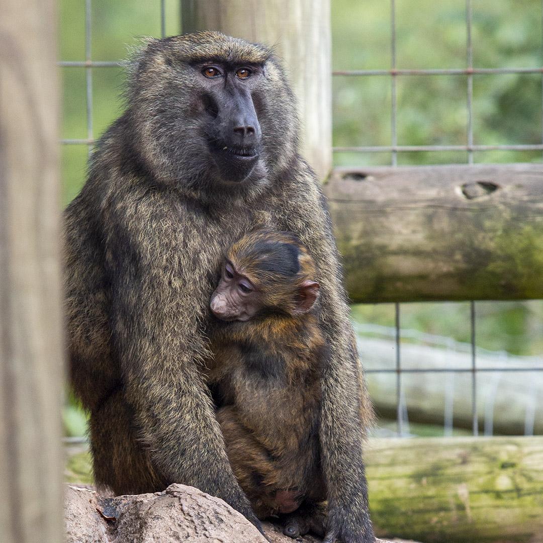 Baboon and baby at Lake Tobias Wildlife Park