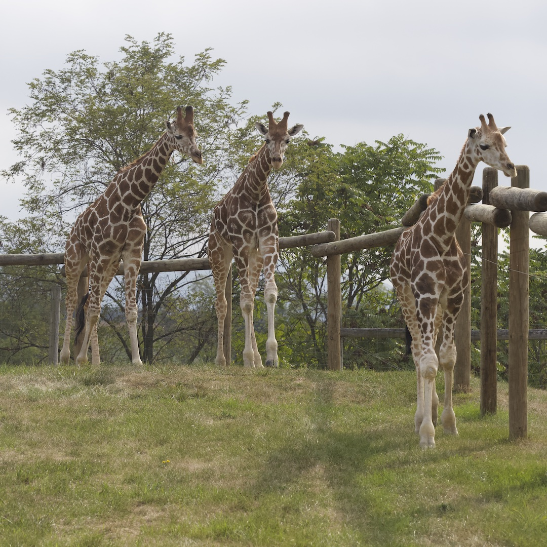 Giraffes at Lake Tobias Wildlife Park
