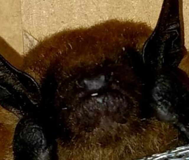Bats Found Inside Cleveland Oh Homes
