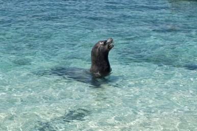 Een vrouwtjes zeeleeuw op de Galapagos