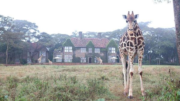 giraffe-manor2_lalalovely