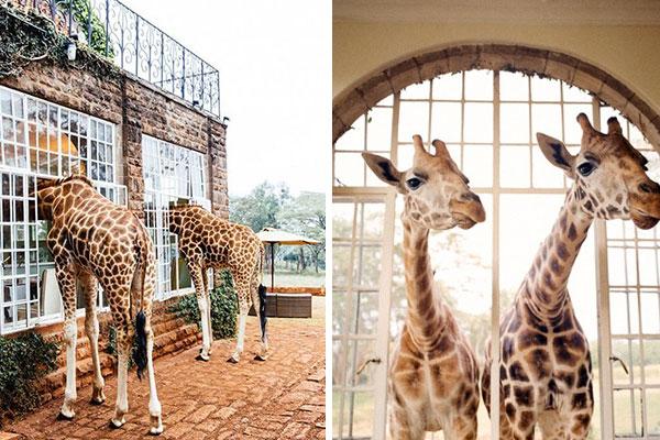 giraffe-manor5_lalalovely