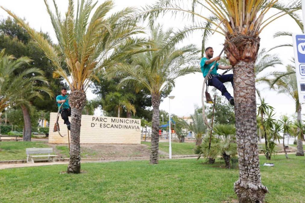 L'Alfàs del Pi acomete la campaña de limpieza y poda de las palmeras del municipio