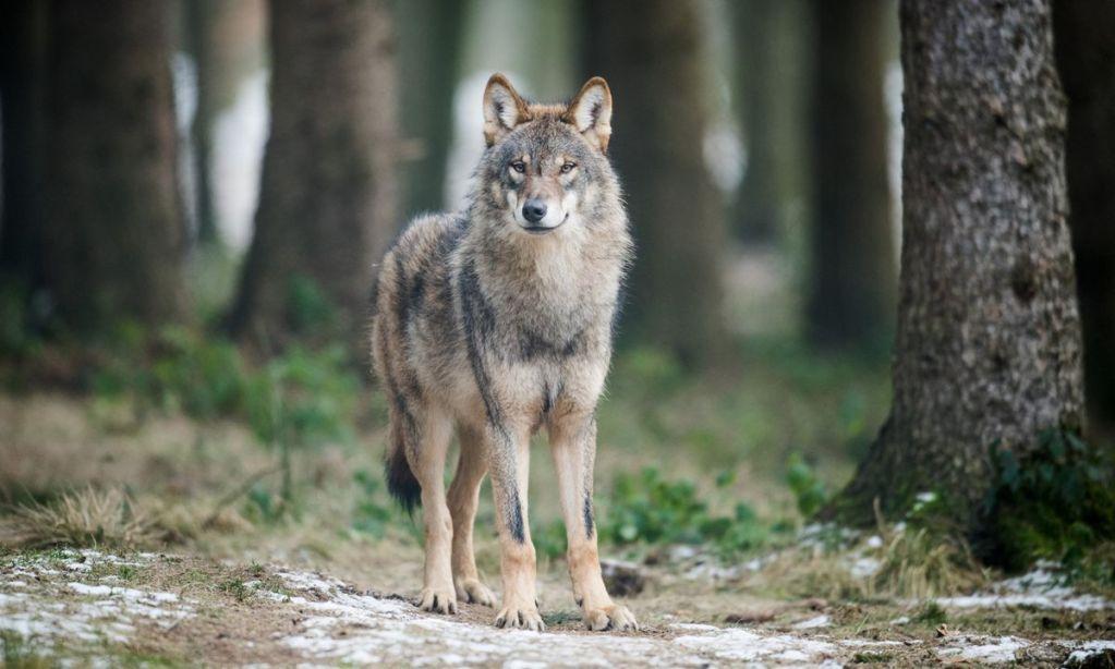 Wolf2 - Herdenschutz oder was tun wenn der Wolf kommt…