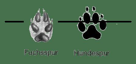 vergleich fuchs hundespur - Waldbewohner: Der Fuchs