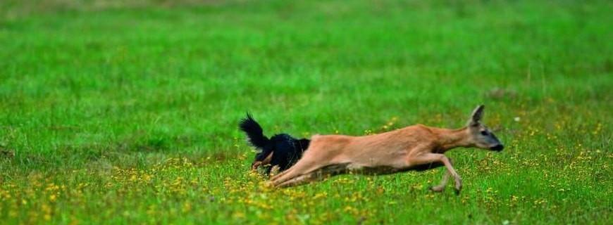 Hund hetzt Rehgeiss.jpg 5769840 - Wildernde Tiere