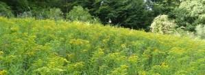 Invasive Pflanzen