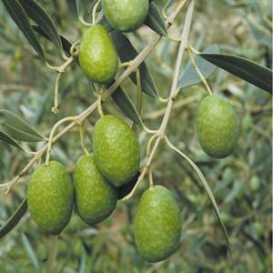 Pisl Slow Life lalocride locride Olive grosse di Gerace