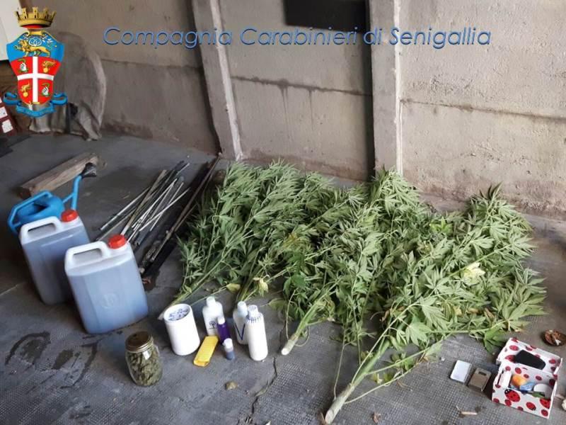 Arrestato a Trecastelli per coltivazione di marijuana