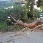 Un grosso pino cade a Marzocca, sfiorata la tragedia in via 24 Maggio