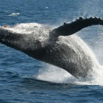 Whale Watching near Byron Bay and the Gold Coast