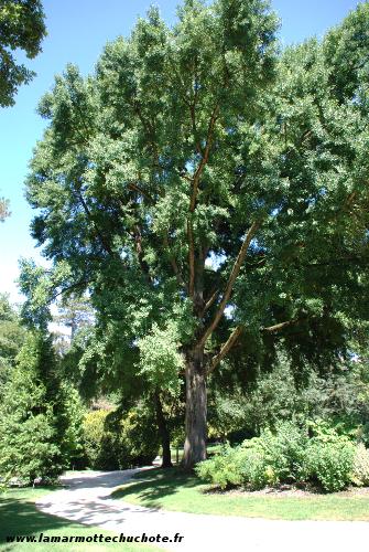 Quelques arbres remarquables