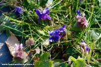 violette_1