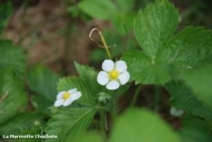 Fleurs de fraises des bois