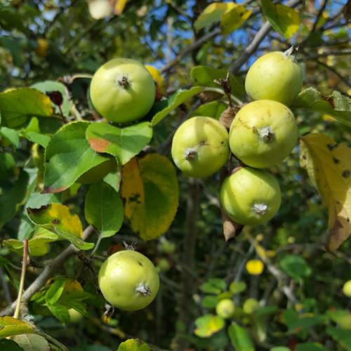 pommes jaunes sur l'arbre