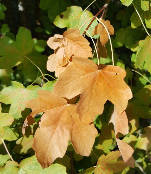 Feuilles d'érable brunes d'automne